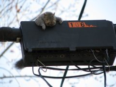 Squirrel causes havoc, inadvertently commits suicide.