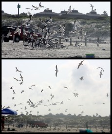 "A swarm out of Hitchcock's ""The Birds"". Only taken at our beach."